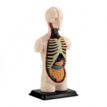 Набор для исследований Edu-Toys Модель туловища человека сборная, 12,7 см