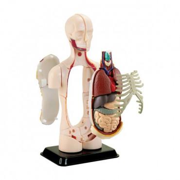 Набір для досліджень Edu-Toys Модель тулуба людини збірна, 12,7 см