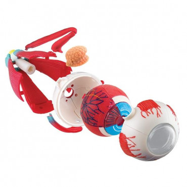 Набір для досліджень Edu-Toys Модель очного яблука збірна, 14 см