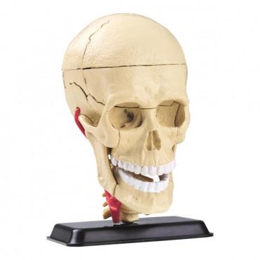 Набор для исследований Edu-Toys Модель черепа с нервами сборная, 9 см